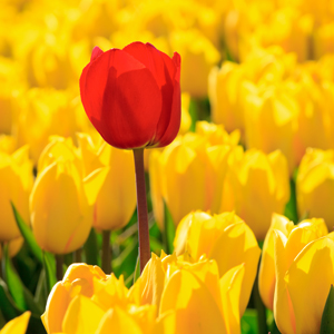tulip-stands-out_web